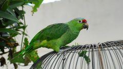 Как распознать пол попугая