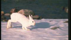 Как выследить зайца