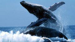 Почему исчезают киты