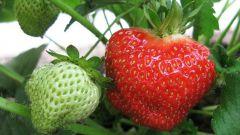 Как размножать садовую землянику