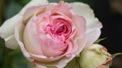 Как сохранить розы в горшке
