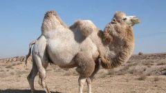 Почему верблюда называют королем пустыни