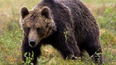 How to make bear bile