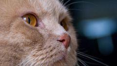 Как ухаживать за котенком-британцем
