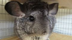 How to name a chinchilla