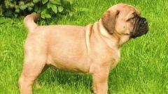 Как кормить щенка бульмастифа