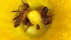 Для чего нужна пыльца