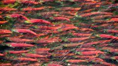 Почему рыбы откладывают миллионы икринок