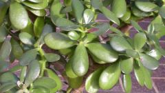 How to plant jade