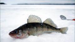 Как ловить судака зимой на Волге