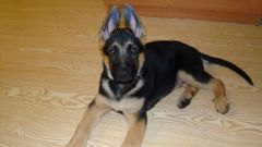 How to raise a German shepherd puppy