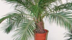 Как поливать финиковую пальму