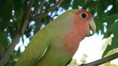 Как научить говорить попугая-неразлучника