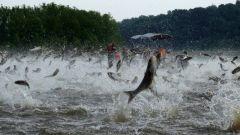 Почему разводят растительноядных рыб