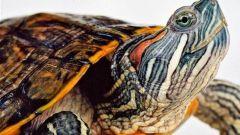 Как ухаживать за морской черепахой