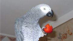 Почему попугаи разговаривают
