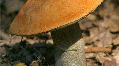 Как отличить гриб подосиновик