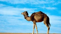 Почему у верблюда горб
