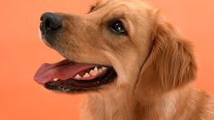 Как давать собаке таблетки от глистов