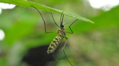 Как нарисовать комара