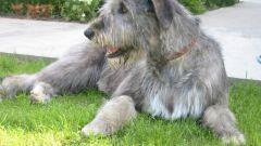 Как воспитывать собаку волкодава