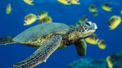 Как кормить морских черепах