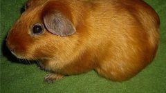 Почему морская свинка - свинка