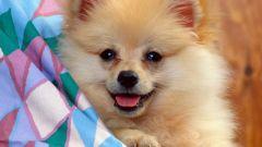 Что делать, если у собаки течка