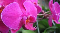 Как пересадить орхидею, если она цветет
