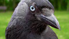 Как сделать маску вороны