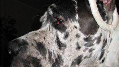 Как клеить уши собаке