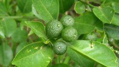 Как размножить лимон
