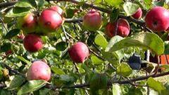 Как защитить садовые деревья от вредителей