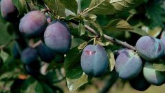 How to transplant a plum