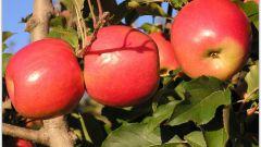 Как обрезать фруктовые деревья