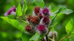 How to prepare burdock root