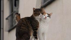 Как определить когда у кошки течка