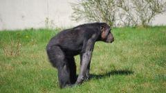 Почему современные обезьяны не превращаются в людей