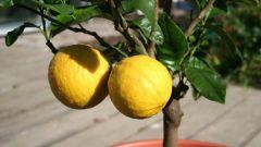 Как укоренить лимон