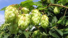 How to make yeast from hops