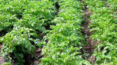 Как вырастить много картофеля