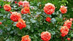 Как вылечить розу