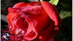 Зачем розе нужны шипы
