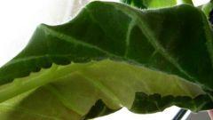 Почему листья закручиваются