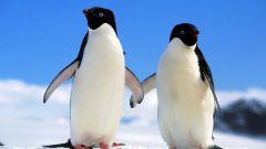 Почему у пингвинов не мерзнут лапы