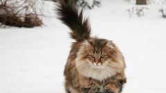 Как отличить норвежскую кошку от других