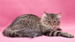 How to distinguish a Siberian cat from cats of other breeds