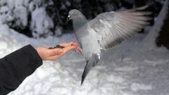 Почему голубь двигается шажками