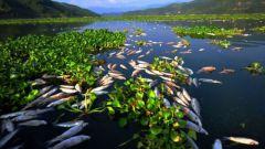 Почему разводят преимущественно растительноядных рыб