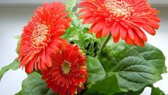 How to transplant gerbera